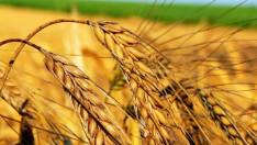 Buğdayda taban fiyat talebi açıklandı
