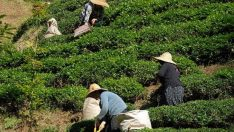 ÇAYKUR, 229 bin ton çay aldı