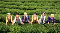93 ülkenin tercihi Türk çayı oldu