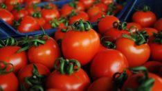 """""""Rusya domates ihracatında firma sayısını mecburen artırdı"""""""
