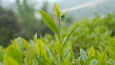 Çay ihracatı yüzde 219 arttı