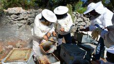 Bu Yıl Çam Balı Hasadından 15 Bin Ton  Bal Bekleniyor